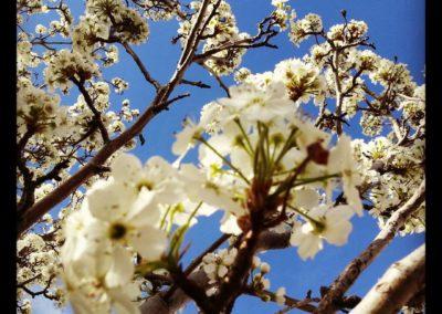 ash blossoms