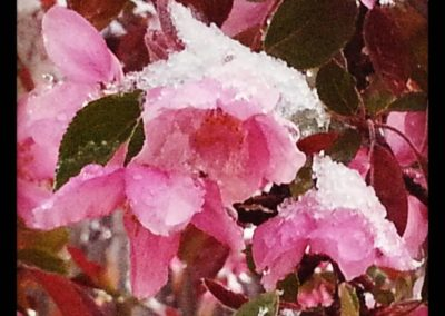 snow on blossoms